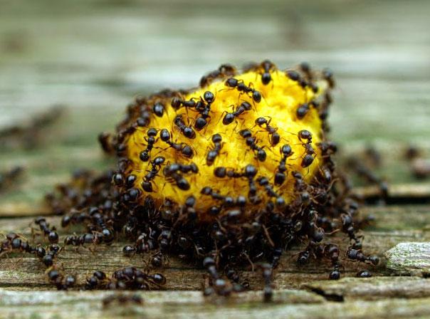 Hormigas eurosan for Como eliminar plaga de hormigas